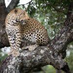 Jaguar-ranthambore-national-park