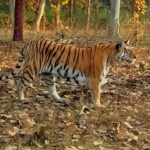 Tiger-pench-national-park