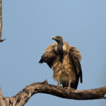 Vultures - Pench National Park