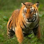 corbett-tiger-goL