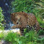 leopard at Tadoba National Park