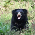 Sloth-bear-ranthambore-national-park