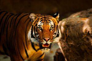 Tiger Safari at Tadoba
