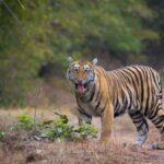 tiger-at-tadoba