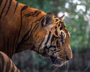 Tiger Safari - Pench National Park