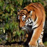 tiger-tadoba-Safari