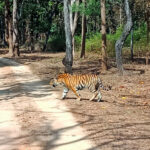tiger-tour-pench-national-park