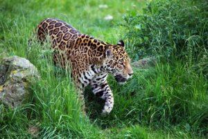 Leopard at Nagzira